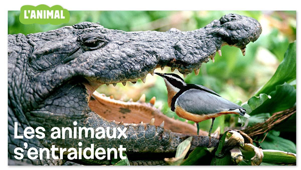 """""""L'animal : À votre service"""", Images Doc n° 360, décembre 2018. Textes : Nathalie Tordjman. Photo crocodile : Juniors Bildarchiv GMBH/Alamy Stock Photo/Hémis."""