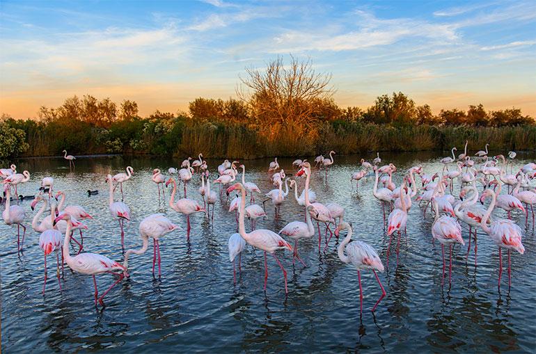 © AdobeStock. Flamants roses dans un étang en Camargue.