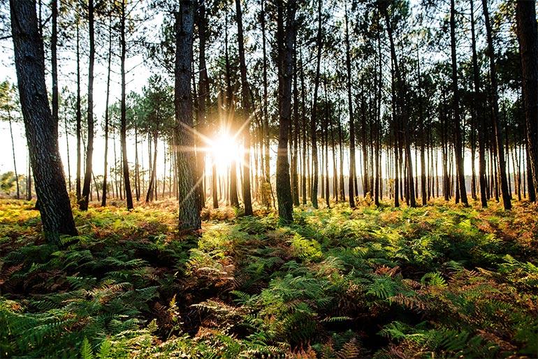 © AdobeStock. La forêt des Landes.